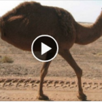 Two legged camel surprises the world