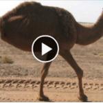 Two legged camel surprises the world
