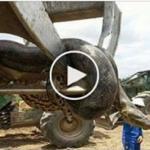 giant Anaconda Found in Construction Building in Brazil